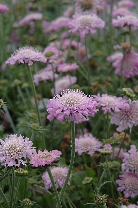 Pink mist pincushion flower scabiosa pink mist in grand rapids pink mist pincushion flower scabiosa pink mist at bloomers garden center mightylinksfo