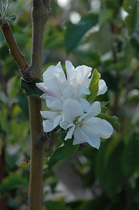 Whitney Flowering Crab (Malus \'Whitney\') in Grand Rapids Cohasset ...
