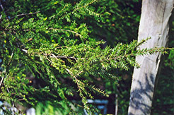 Canadian Hemlock (Tsuga canadensis) at Bloomers Garden Center & Landscaping