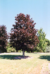 Royal Red Norway Maple (Acer platanoides 'Royal Red') at Bloomers Garden Center & Landscaping