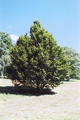 American Hornbeam (Carpinus caroliniana) at Bloomers Garden Center & Landscaping