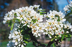 Ure Pear (Pyrus ussuriensis 'Ure') at Bloomers Garden Center & Landscaping