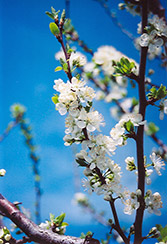 Mount Royal Plum (Prunus 'Mount Royal') at Bloomers Garden Center & Landscaping