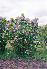 President Lincoln Lilac (Syringa vulgaris 'President Lincoln') at Bloomers Garden Center & Landscaping