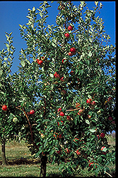 Zestar Apple (Malus 'Zestar') at Bloomers Garden Center & Landscaping
