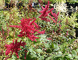 Glow Astilbe (Astilbe x arendsii 'Glow') at Bloomers Garden Center & Landscaping