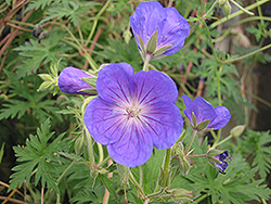 Orion Cranesbill (Geranium 'Orion') at Bloomers Garden Center & Landscaping