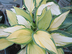 Happy Dayz Hosta (Hosta 'Happy Dayz') at Bloomers Garden Center & Landscaping