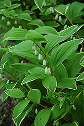 Variegated Solomon's Seal (Polygonatum odoratum 'Variegatum') at Bloomers Garden Center & Landscaping
