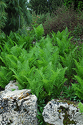 Ostrich Fern (Matteuccia strutheriopteris) at Bloomers Garden Center & Landscaping