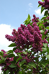 Charles Joly Lilac (Syringa vulgaris 'Charles Joly') at Bloomers Garden Center & Landscaping