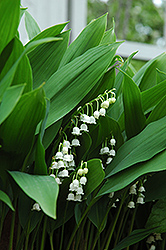 Lily-Of-The-Valley (Convallaria majalis) at Bloomers Garden Center & Landscaping