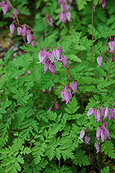 Bleeding Heart (Dicentra eximia) at Bloomers Garden Center & Landscaping