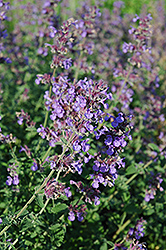 Walker's Low Catmint (Nepeta x faassenii 'Walker's Low') at Bloomers Garden Center & Landscaping