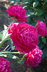 Paul Wild Peony (Paeonia 'Paul Wild') at Bloomers Garden Center & Landscaping
