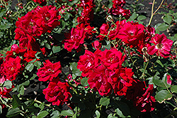 Champlain Rose (Rosa 'Champlain') at Bloomers Garden Center & Landscaping