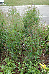 Shenandoah Reed Switch Grass (Panicum virgatum 'Shenandoah') at Bloomers Garden Center & Landscaping