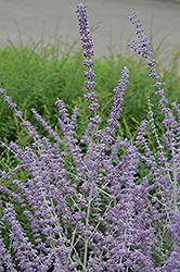 Russian Sage (Perovskia atriplicifolia) at Bloomers Garden Center & Landscaping