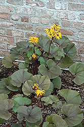 Britt Marie Crawford Rayflower (Ligularia dentata 'Britt Marie Crawford') at Bloomers Garden Center & Landscaping