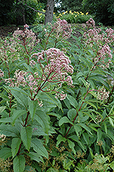 Gateway Joe Pye Weed (Eupatorium maculatum 'Gateway') at Bloomers Garden Center & Landscaping