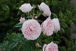 Morden Blush Rose (Rosa 'Morden Blush') at Bloomers Garden Center & Landscaping