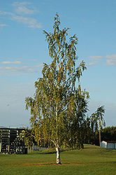 Cutleaf Weeping Birch (Betula pendula 'Dalecarlica') at Bloomers Garden Center & Landscaping