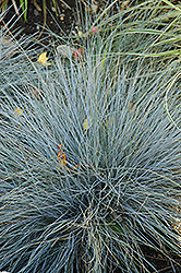 Blue Fescue (Festuca glauca) at Bloomers Garden Center & Landscaping