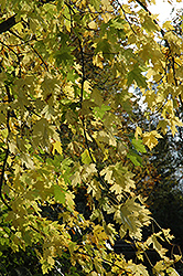 Silver Maple (Acer saccharinum) at Bloomers Garden Center & Landscaping