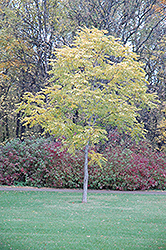 Kentucky Coffeetree (Gymnocladus dioicus) at Bloomers Garden Center & Landscaping