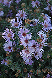 Woods Blue Aster (Aster 'Woods Blue') at Bloomers Garden Center & Landscaping