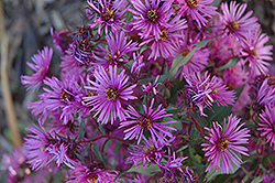 Woods Pink Aster (Aster 'Woods Pink') at Bloomers Garden Center & Landscaping