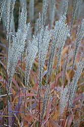 Flame Grass (Miscanthus sinensis 'Purpurascens') at Bloomers Garden Center & Landscaping