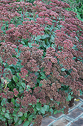 Matrona Stonecrop (Sedum 'Matrona') at Bloomers Garden Center & Landscaping