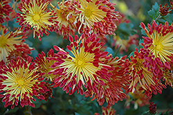 Matchsticks Chrysanthemum (Chrysanthemum 'Matchsticks') at Bloomers Garden Center & Landscaping