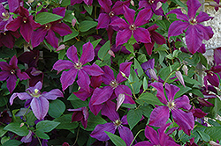 Polish Spirit Clematis (Clematis 'Polish Spirit') at Bloomers Garden Center & Landscaping