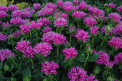 Petite Delight Beebalm (Monarda 'Petite Delight') at Bloomers Garden Center & Landscaping