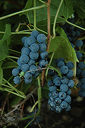 Valiant Grape (Vitis 'Valiant') at Bloomers Garden Center & Landscaping