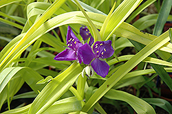 Blue And Gold Spiderwort (Tradescantia x andersoniana 'Blue And Gold') at Bloomers Garden Center & Landscaping