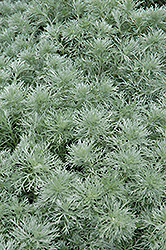 Silver Mound Artemesia (Artemisia schmidtiana 'Silver Mound') at Bloomers Garden Center & Landscaping