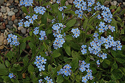 Forget-Me-Not (Myosotis sylvatica) at Bloomers Garden Center & Landscaping