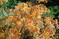 Golden Lights Azalea (Rhododendron 'Golden Lights') at Bloomers Garden Center & Landscaping