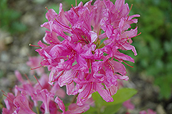 Lilac Lights Azalea (Rhododendron 'Lilac Lights') at Bloomers Garden Center & Landscaping