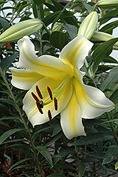 Conca D'Or Lily (Lilium 'Conca D'Or') at Bloomers Garden Center & Landscaping