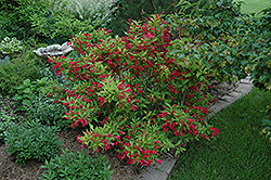 Red Prince Weigela (Weigela florida 'Red Prince') at Bloomers Garden Center & Landscaping