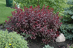 Purpleleaf Sandcherry (Prunus x cistena) at Bloomers Garden Center & Landscaping