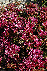 Dragon's Blood Stonecrop (Sedum spurium) at Bloomers Garden Center & Landscaping