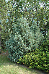 Wichita Blue Juniper (Juniperus scopulorum 'Wichita Blue') at Bloomers Garden Center & Landscaping