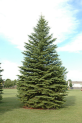 Colorado Spruce (Picea pungens) at Bloomers Garden Center & Landscaping