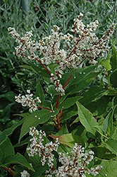 White Fleeceflower (Persicaria polymorpha) at Bloomers Garden Center & Landscaping