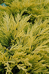 Lime Glow Juniper (Juniperus horizontalis 'Lime Glow') at Bloomers Garden Center & Landscaping